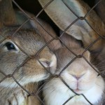 caged-rabbits-1382338