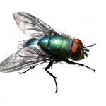 green-bottle-fly-1-1215971